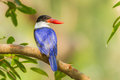 Black capped kingfisher halcyon pileata in nature looking at us Royalty Free Stock Images