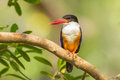 Black capped kingfisher halcyon pileata in nature stair at us Royalty Free Stock Photography