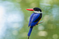 Black capped kingfisher halcyon pileata turn to look at us in nature Stock Images