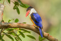 Black capped kingfisher halcyon pileata turn to see us Royalty Free Stock Photos