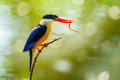 Black capped kingfisher halcyon pileata with worm in her mount Stock Photos