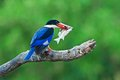 Black-capped Kingfisher with prey Royalty Free Stock Photos