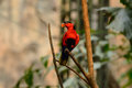 Black capped lory lorius lory beautiful at tree top Royalty Free Stock Image