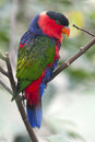 Black Capped Lory Parrot Royalty Free Stock Photo