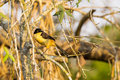 Black capped mocking thrush looking over shoulder a with yellow eyes and long tail perched on a branch its Stock Photos