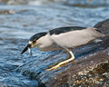 Black-capped Night-heron Fishing Royalty Free Stock Photo