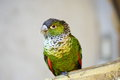 Black-capped Parakeet Royalty Free Stock Photo