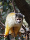 Black capped squirrel monkey saimiri boliviensis sitting on a branch Royalty Free Stock Photography