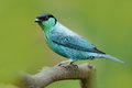 Black-capped tanager, Tangara heinei, bird in the green forest habitat sitting on the branch. Beautiful bird from Colombia. Blue t Royalty Free Stock Photo
