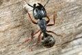Black carpenter ant Royalty Free Stock Images