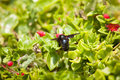Black carpenter bee on flower Royalty Free Stock Photography