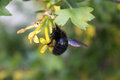 Black carpenter bee on a flower red currant tree Royalty Free Stock Photo