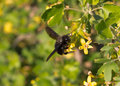 Black carpenter bee on a tree xylocopa red currant Stock Images