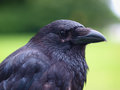 Black carrion crow portrait of a corvus corone in a park Stock Image