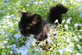 Black cat in the bush of foget-me-not Royalty Free Stock Photo