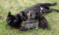 Black cat feeding her three little kittens Royalty Free Stock Photo