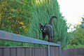 Black cat on the fence walking Royalty Free Stock Photos
