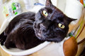 Black cat with funny face Royalty Free Stock Photo