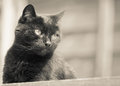 Black cat gazing in sepia a image of a beautiful out of frame whilst lying on a garden table Royalty Free Stock Photo