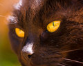 Black Cat With Golden Eyes In The Sunshine Royalty Free Stock Photo