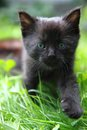 Black cat in the green grass Royalty Free Stock Photography