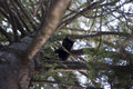 A black cat looking down from a thuja tree Royalty Free Stock Image