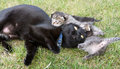 Black cat playing with her little kittens Royalty Free Stock Photo