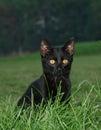 Negro gato Posando