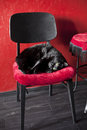 Black cat on a red chair Royalty Free Stock Photo