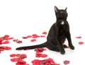 Black cat and rose pedals Royalty Free Stock Image