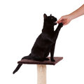 Black cat with a scratch pole isolated on white Stock Image