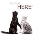 Black cat and white cat  on white. Stock Photos