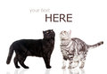Black cat and white cat  on white. Royalty Free Stock Images
