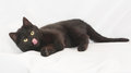 Black cat with yellow eyes lying, sticking his tongue out Stock Photography