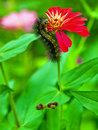 Black caterpillar on red zinnia flower Royalty Free Stock Photography