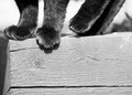 Black cats paws on wood a monochrome image of a walking along a garden planter with high detail both the and the grains of the Royalty Free Stock Image