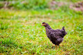 Black chicken outdoor Stock Photography