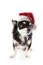 Black chihuahua as santa claus isolated over white background Royalty Free Stock Photo