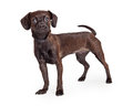 Black chihuahua crossbreed standing to side cute small color beagle and dog the and looking forward into the camera Royalty Free Stock Photo