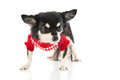 Black chihuahua with red sweater isolated over white background Stock Photo