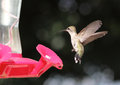 Black Chinned Hummingbird Stock Image