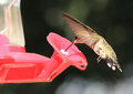 Black Chinned Hummingbird Feeding Stock Photography