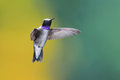 Black chinned hummingbird hovering adult male Stock Photography