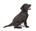 Black-Chocolate Labrador Retriever Puppy Stock Images