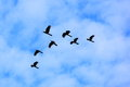 Black cockatoo birds in flight seven glossy flying a formation under a cloudy blue sky picture taken the australian wildlife Royalty Free Stock Photography