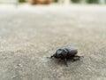 The Black Coleoptera walking Royalty Free Stock Photo