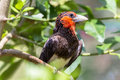 Black-Collared Barbet Bird Stock Photography