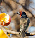 Black collared Barbet looks towards apple Stock Images
