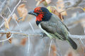 Black collared barbet a lybius torquatus in kruger national park south africa Royalty Free Stock Image