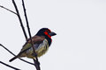 Black collared barbet lybius torquatus in kruger national prk south africa Stock Photo
